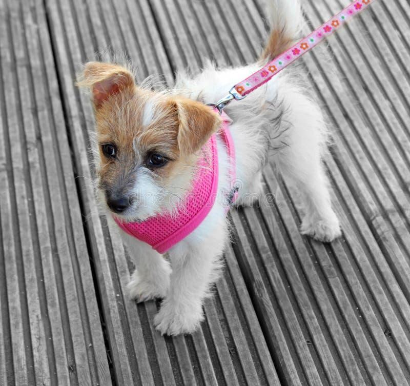 Perrito lindo de Gato Russell foto de archivo libre de regalías