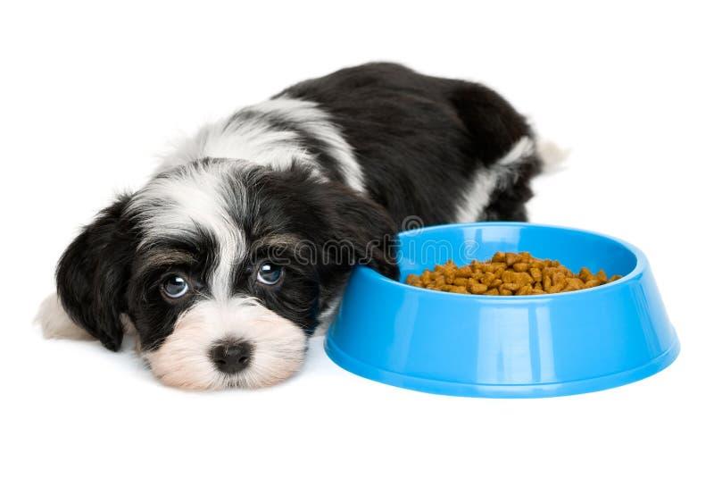 Perrito lindo de Havanese que miente al lado de un cuenco azul de la comida fotografía de archivo