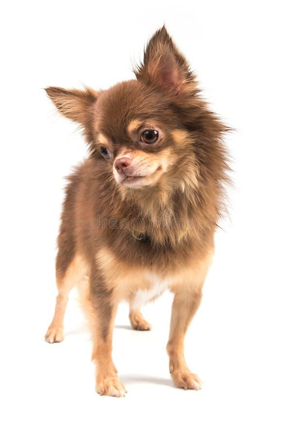 Perrito lindo de la chihuahua que se coloca derecho de mirada fotografía de archivo