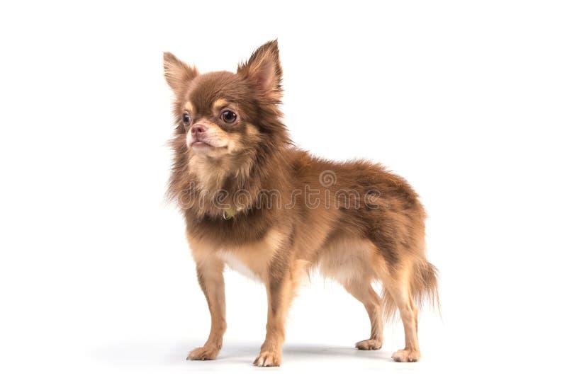 Perrito lindo de la chihuahua que se coloca derecho de mirada imagenes de archivo