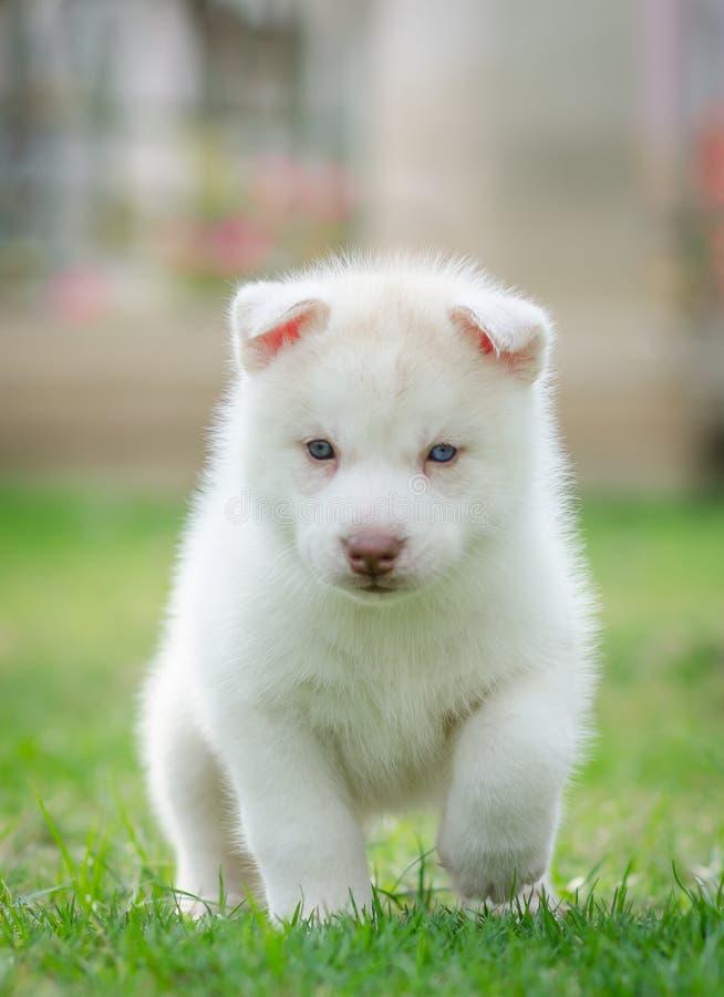 Perrito lindo de los ojos azules foto de archivo