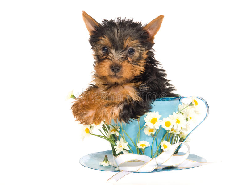Perrito lindo de Yorkie que se sienta dentro de la taza del daisie foto de archivo libre de regalías