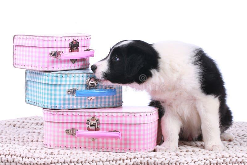 Perrito lindo del border collie con las pequeñas maletas fotos de archivo libres de regalías