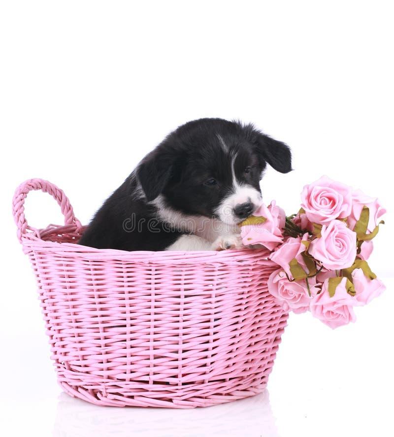 Perrito lindo del border collie en una cesta imágenes de archivo libres de regalías