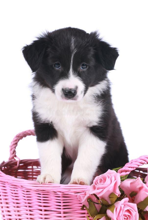 Perrito lindo del border collie en una cesta fotografía de archivo libre de regalías
