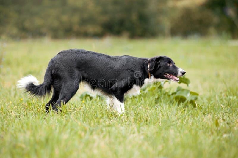 Paseos lindos del perrito del border collie foto de archivo libre de regalías