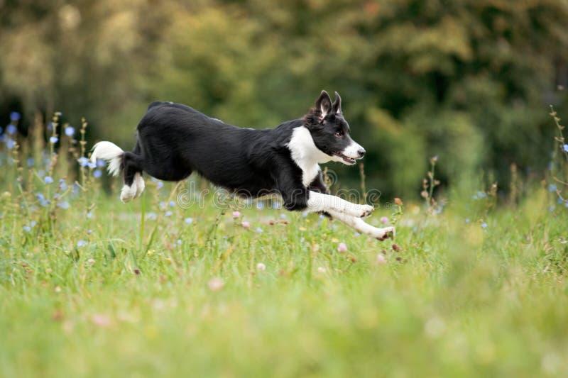 Perrito del border collie que corre a través de un prado imagen de archivo