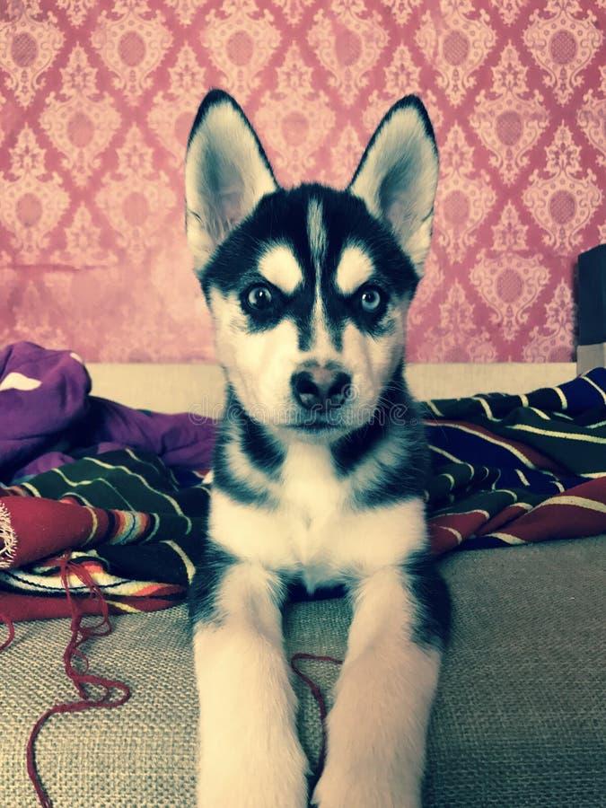 Perrito lindo del husky siberiano fotografía de archivo libre de regalías