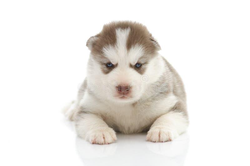 Perrito lindo del husky siberiano en el fondo blanco fotos de archivo