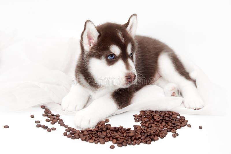 Perrito lindo del husky siberiano que miente en el fondo blanco fotos de archivo libres de regalías
