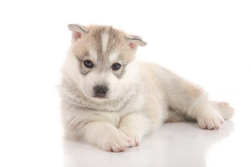 Perrito lindo del husky siberiano que miente en el fondo blanco aislado foto de archivo