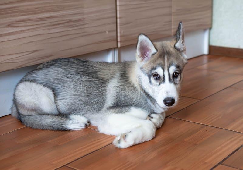 Perrito lindo del husky siberiano que miente en el piso fotos de archivo libres de regalías