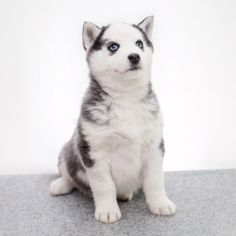 Perrito lindo del husky siberiano que se sienta en el fondo blanco imagen de archivo