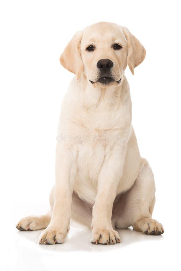 Perrito lindo del labrador retriever que se sienta en el fondo blanco imagen de archivo