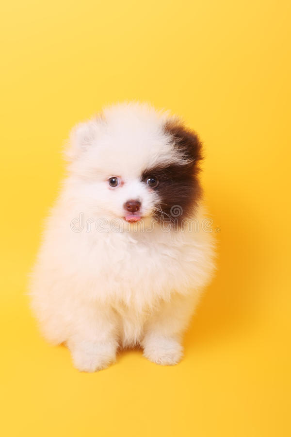 Perrito lindo del perro de Pomerania imagen de archivo libre de regalías