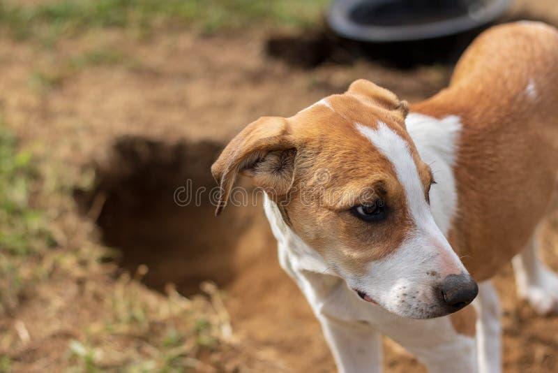 Perrito lindo del terrier de Russel del enchufe cogido cavando un túnel/un agujero en backyars foto de archivo