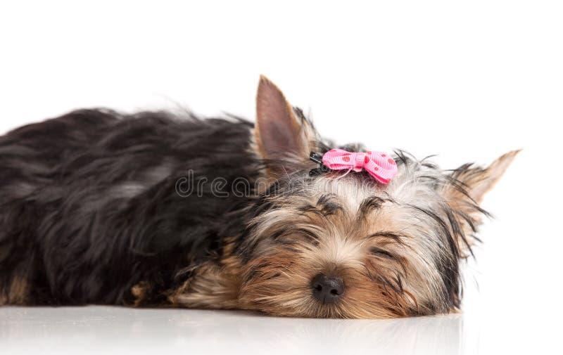 Perrito lindo del terrier de yorkshire dormido imágenes de archivo libres de regalías
