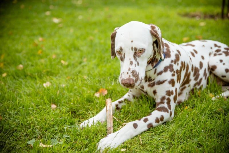 Perrito lindo dulce del perro de Labrador que miente en un prado verde y que mastica en un palillo de la rama El caminar del dalm imagen de archivo