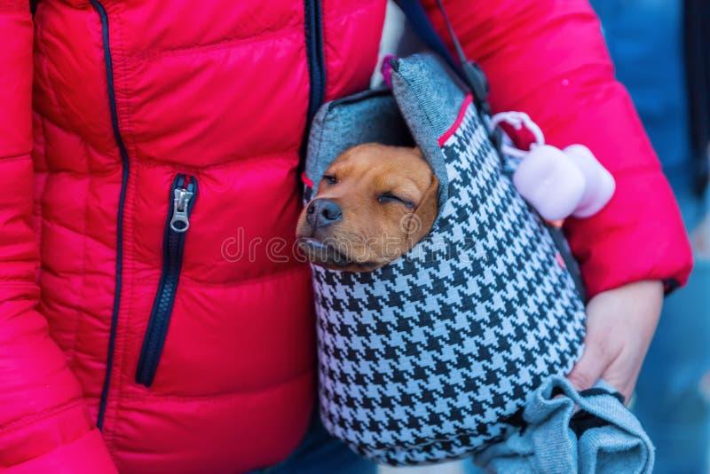 Perrito lindo en un bolso de la honda fotografía de archivo