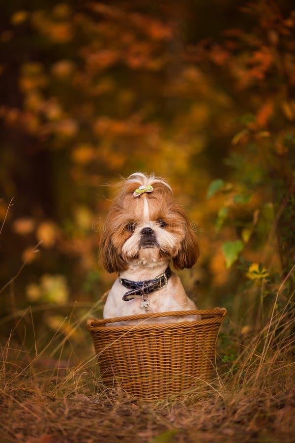 Perrito lindo en una cesta en el bosque del otoño imagen de archivo libre de regalías