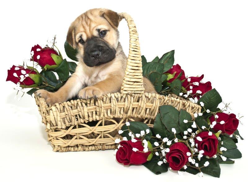 Perrito lindo estupendo del pei de Shar imágenes de archivo libres de regalías