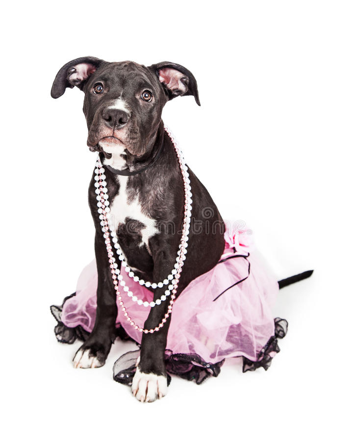 Perrito lindo que lleva el tutú rosado imágenes de archivo libres de regalías