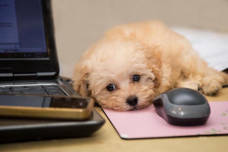 Perrito lindo y curioso del caniche que descansa sobre un escritorio imagen de archivo libre de regalías