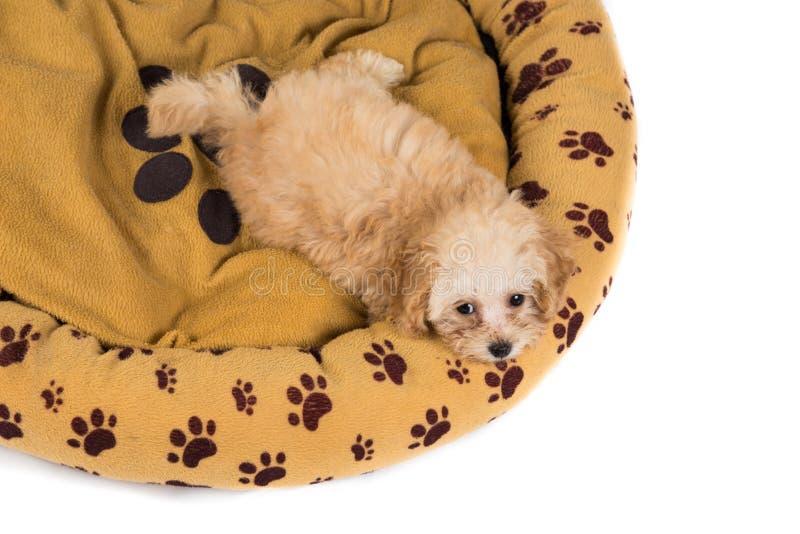 Perrito lindo y curioso del caniche que mira para arriba de su cama imagen de archivo libre de regalías