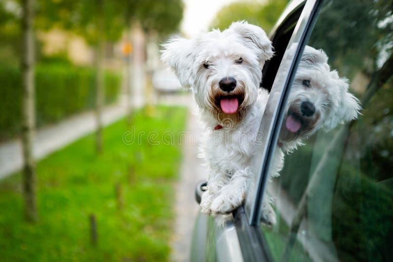 Perrito maltés que mira hacia fuera la ventanilla del coche imagenes de archivo