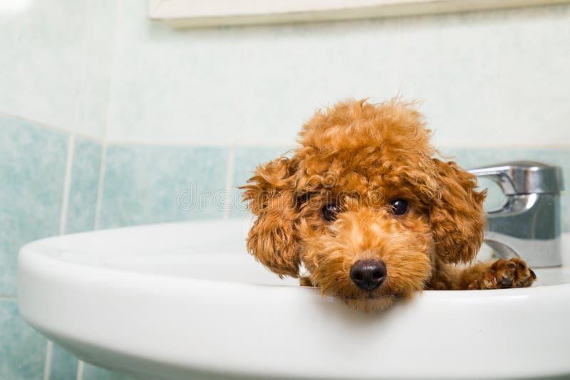 Perrito marrón curioso del caniche que consigue listo para el baño en lavabo foto de archivo libre de regalías
