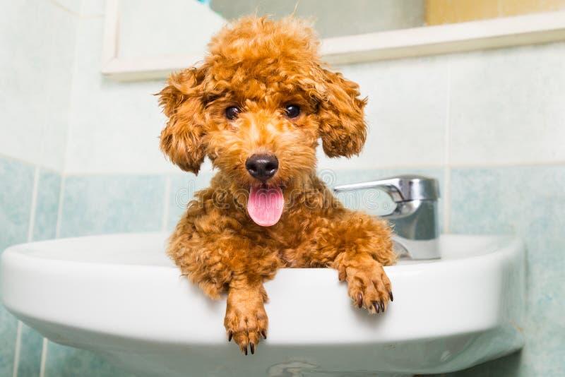 Perrito marrón sonriente del caniche que consigue listo para el baño en lavabo foto de archivo