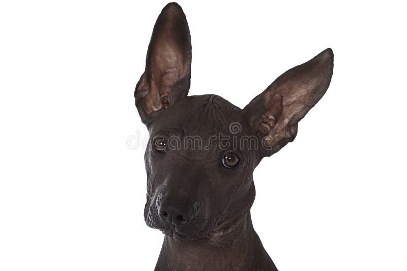 Perrito mexicano del xoloitzcuintle fotos de archivo libres de regalías