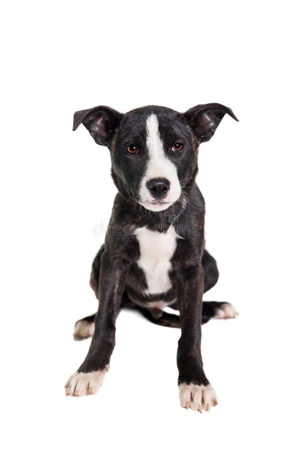 Perrito mezclado de la raza en blanco fotos de archivo libres de regalías