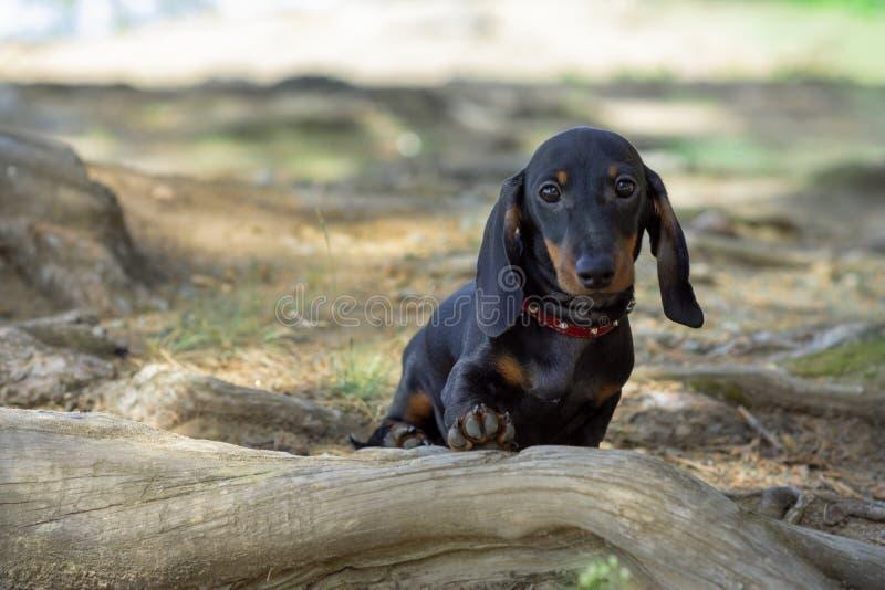 Perrito miniatura alambre-cabelludo lindo y tímido del perro basset que presenta para el fotógrafo fotografía de archivo libre de regalías