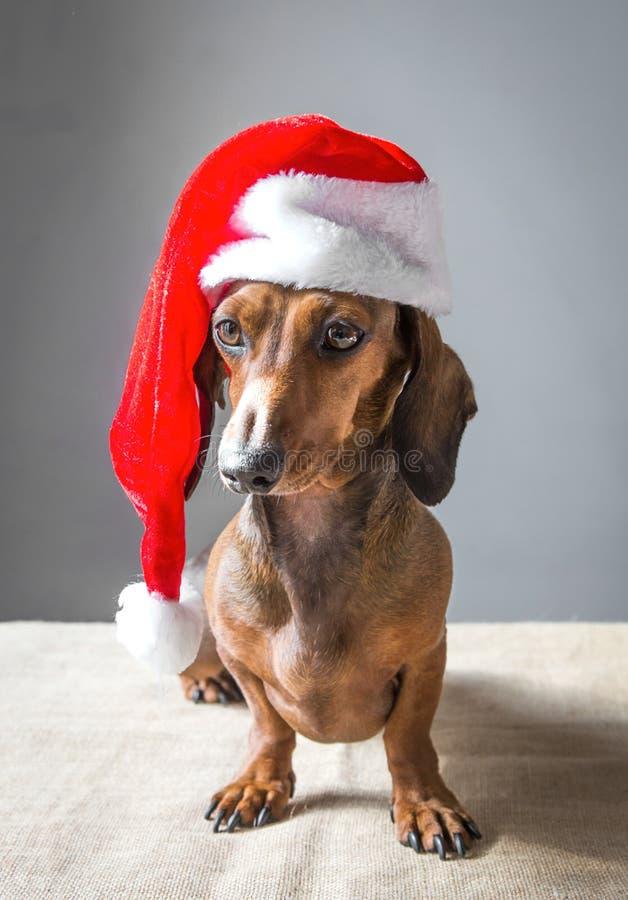 Perrito miniatura del perro basset de la Navidad que lleva el sombrero de Santa Claus fotos de archivo libres de regalías
