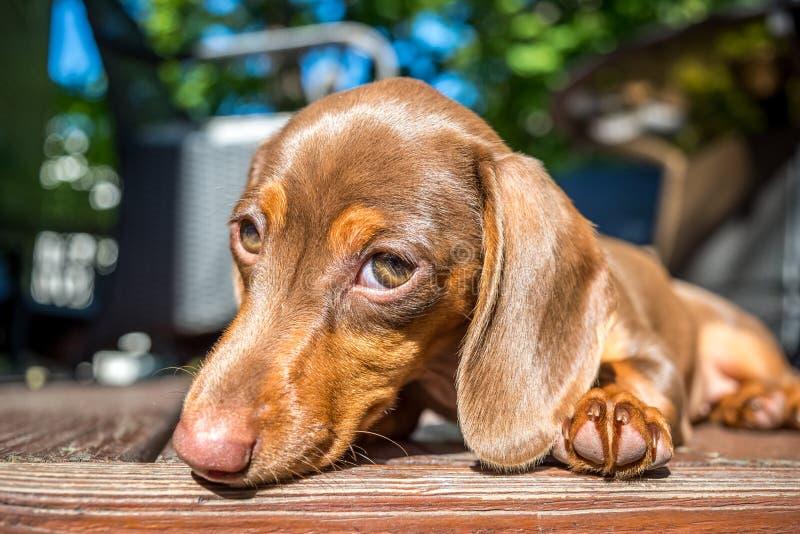 Perrito miniatura del perro basset que pone en la cubierta en la sol foto de archivo