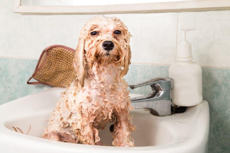 Perrito mojado del caniche que toma el baño en lavabo fotografía de archivo