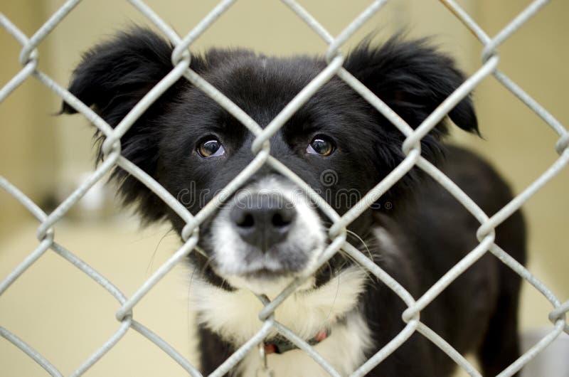Perrito mullido del border collie en libra de perro de la perrera de la alambrada foto de archivo