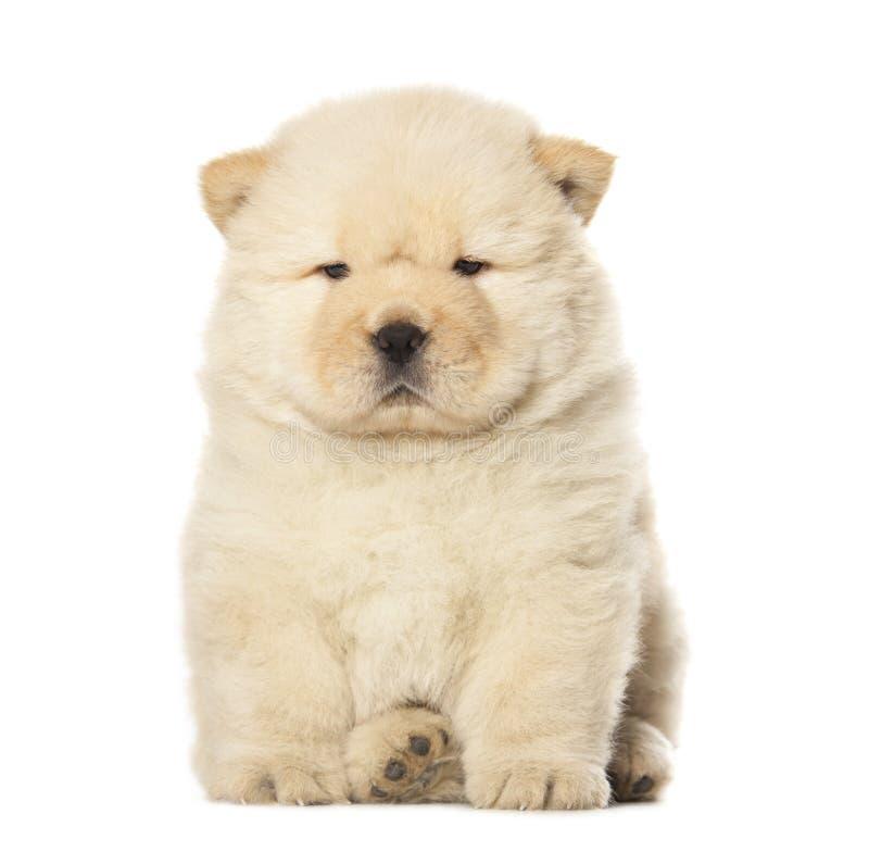 Perrito del chow-chow fotografía de archivo libre de regalías