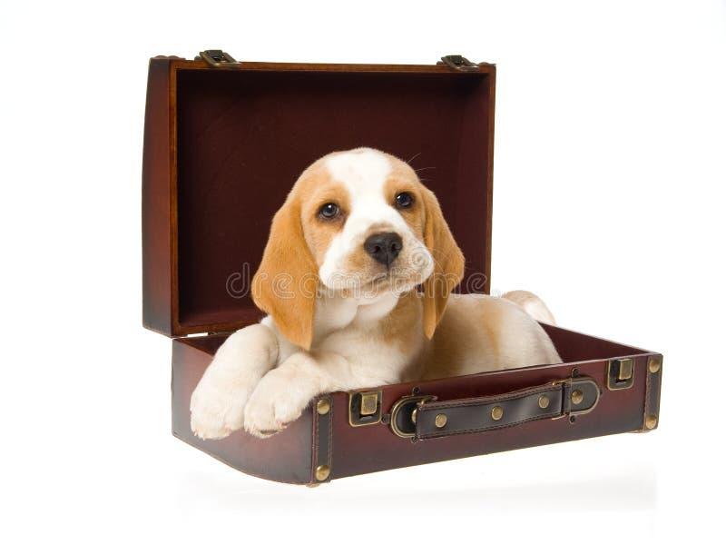 Perrito muy lindo del beagle dentro de la maleta marrón imagen de archivo libre de regalías