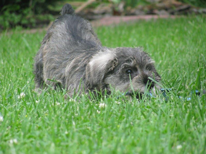 Perrito muy pequeño, dulce - schnauzer miniatura que se sienta en un jardín en hierba verde imágenes de archivo libres de regalías