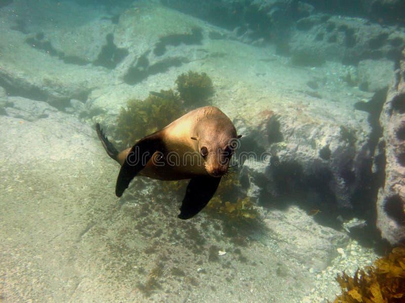Perrito narcotizado del lobo marino imagen de archivo libre de regalías
