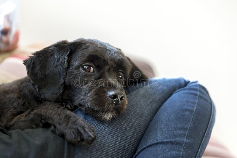 Perrito negro fotografía de archivo