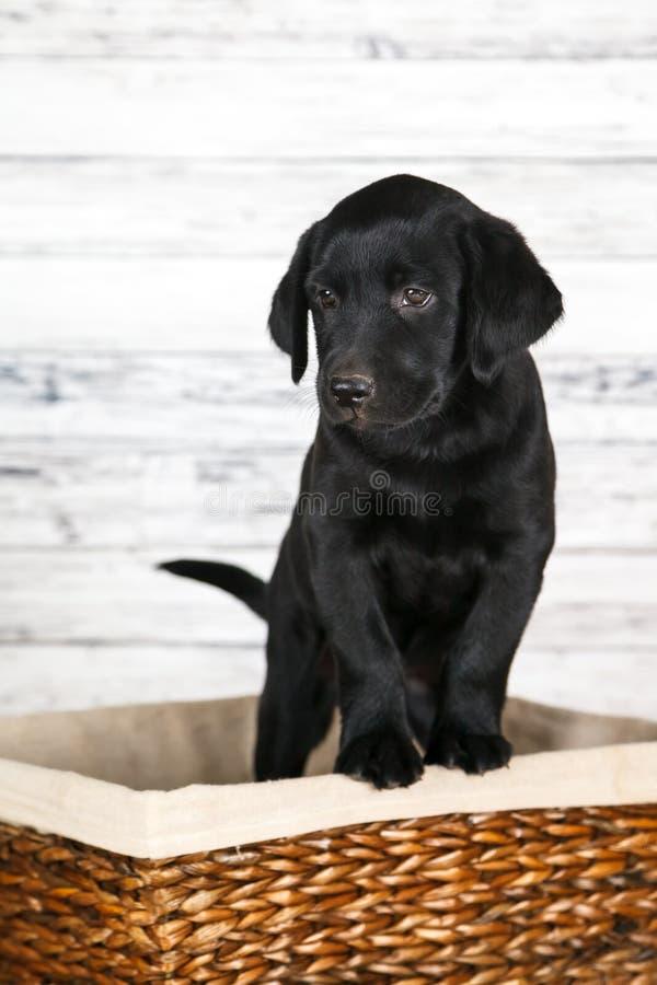 Perrito negro adorable del laboratorio imagenes de archivo