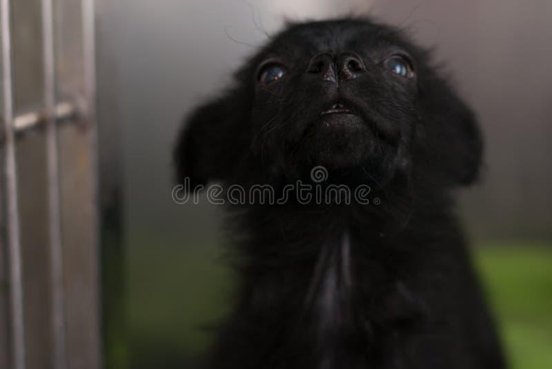 Perrito negro con la nariz partida y el mange demodectic, localizado en el nivel de la cabeza y del cuerpo fotografía de archivo libre de regalías