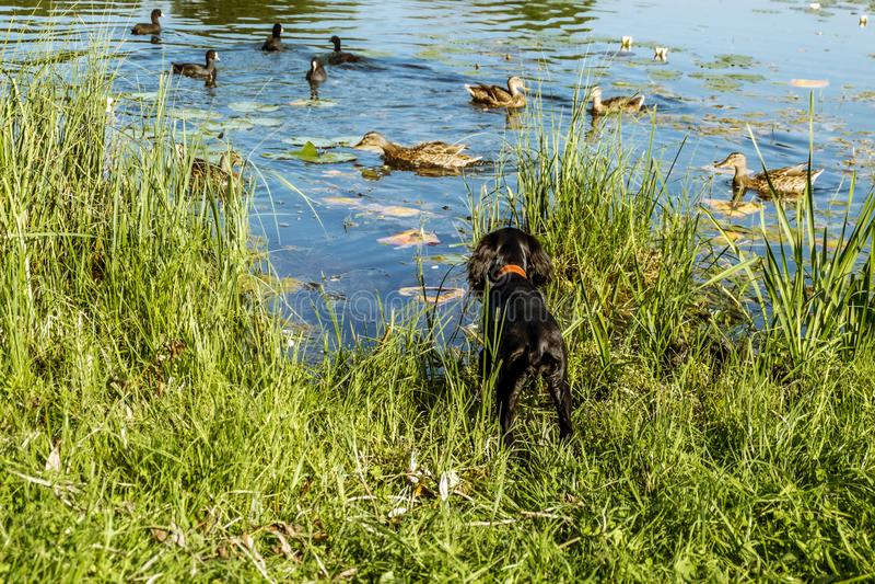 Perrito negro de Cocker Spaniel que caza patos por el lago fotografía de archivo