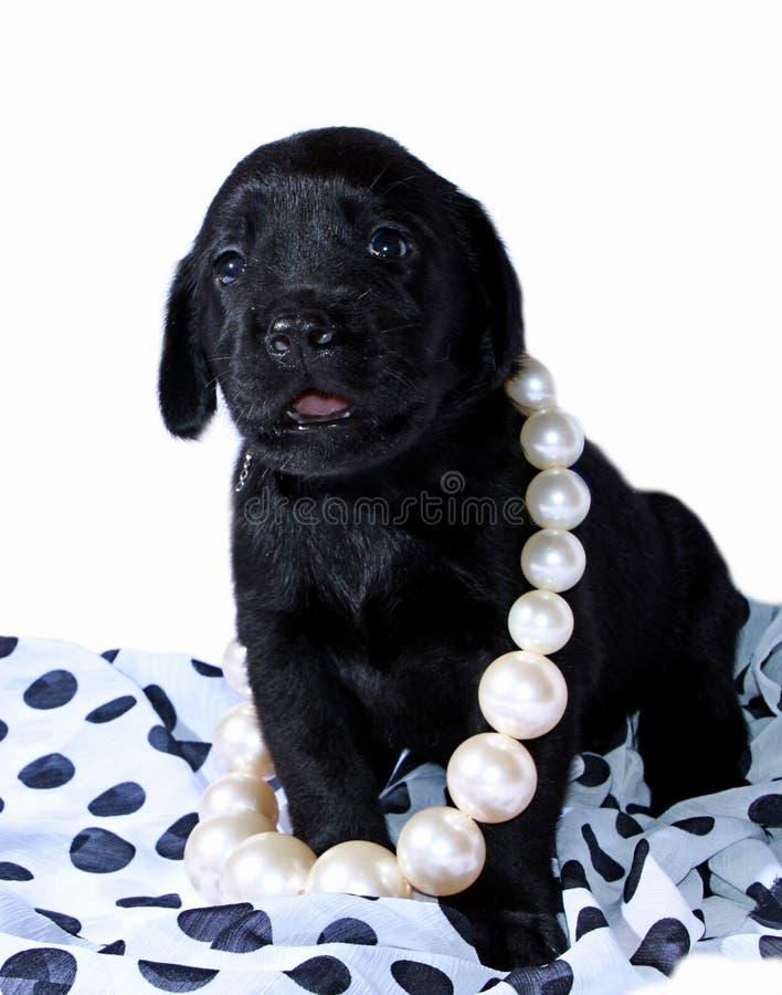 Download Perrito negro de Labrador foto de archivo. Imagen de perla - 41909784