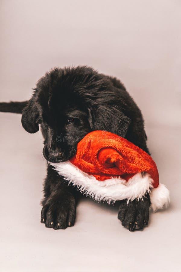 Perrito negro de Terranova que coloca en el piso mientras que mastica en un sombrero rojo del partido de Papá Noel contra un fond fotos de archivo