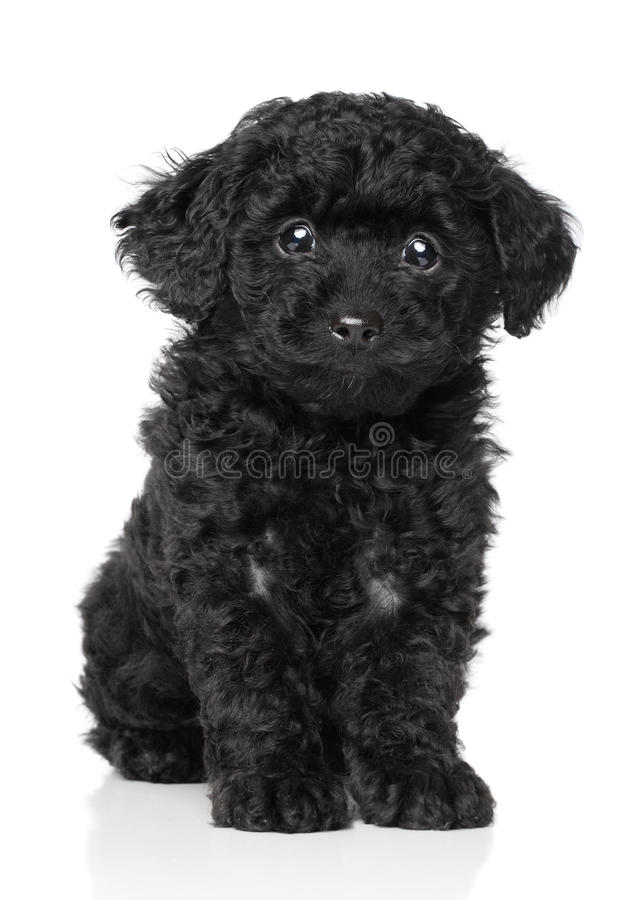 Perrito negro del caniche de juguete foto de archivo