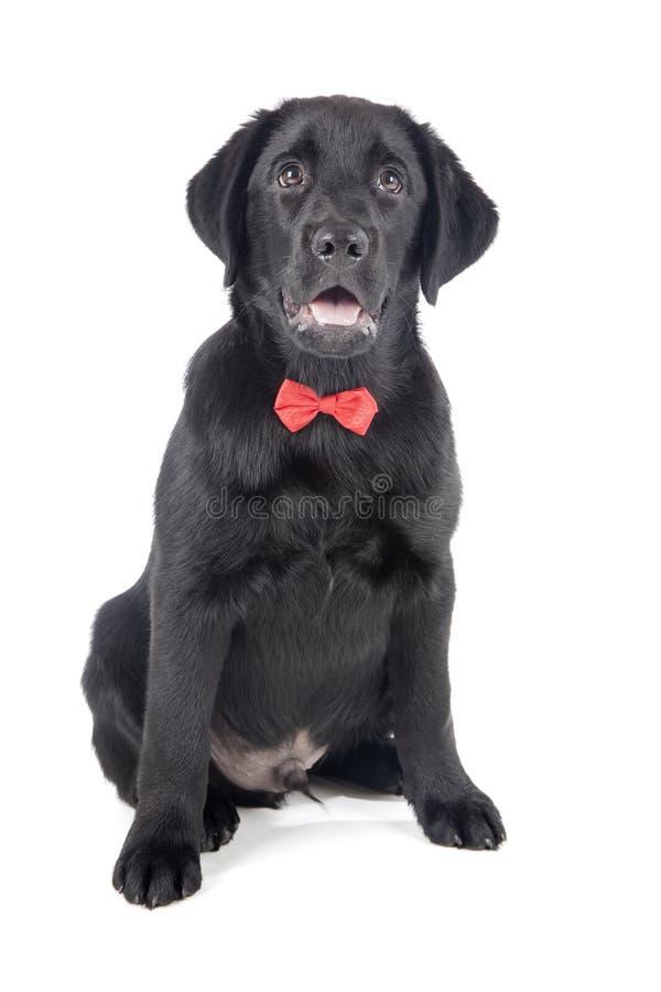 Perrito negro del laboratorio, dos meses fotografía de archivo